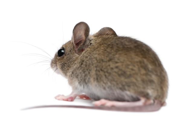 Vista lateral do mouse de madeira