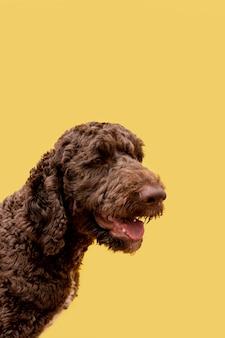 Vista lateral do poodle doméstico com a língua de fora