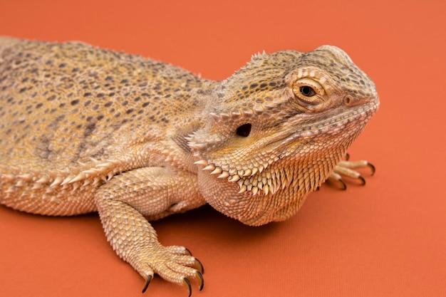 Vista lateral do réptil iguana