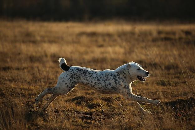 Vista lateral em correr e sorrir cão pastor da ásia central.