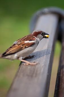 Vista lateral macro de um pardal sentado nas costas de um banco e comendo um grão de milho amarelo no pa ...