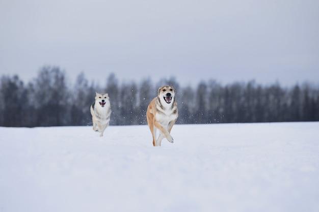 Vista lateral para dois cães brincando e correndo um para o outro no campo de neve no inverno