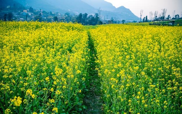 Vista linda primavera da fazenda de mostarda, no nepal. Foto Premium