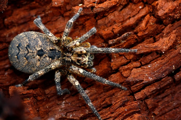 Vista macro de uma lobo-aranha isolada em uma parte de madeira podre.