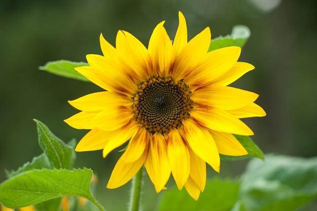 Vista macro do girassol na flor.