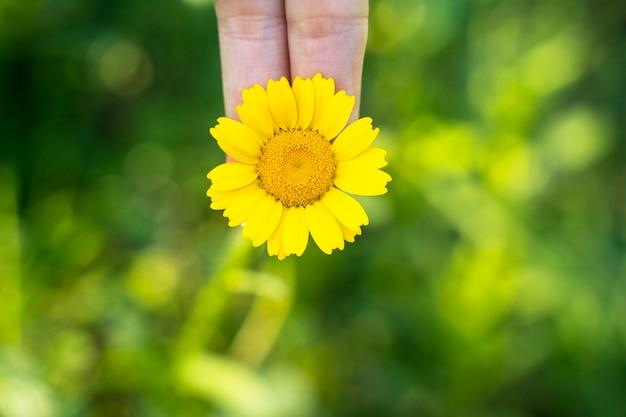 Vista macro horizontal da luz - flor amarela da margarida. flor brilhante arquivado com pétalas. fundo do prado verde no horário de verão. flor do campo de primavera sazonal. recursos ambientais naturais.