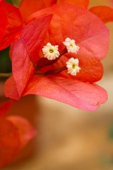Vista macro próxima de uma flor alaranjada bonita do bouganvilla.