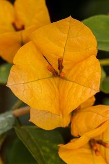 Vista macro próxima de uma flor amarela bonita do bouganvilla.