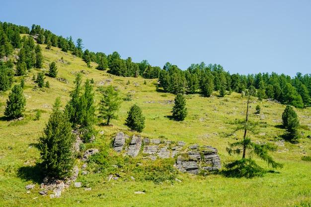 Vista maravilhosa a bela montanha verde com árvores coníferas e rochas sob o céu azul claro. paisagem alpina vívida. encosta com floresta de coníferas e pedras em dia ensolarado. inclinação com vegetação.