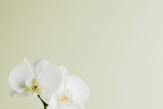 Vista minimalista de flores de orquídeas brancas