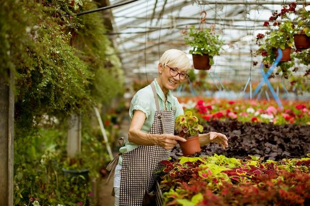 Vista na mulher sênior bonita trabalhando com flores da primavera em greengarden