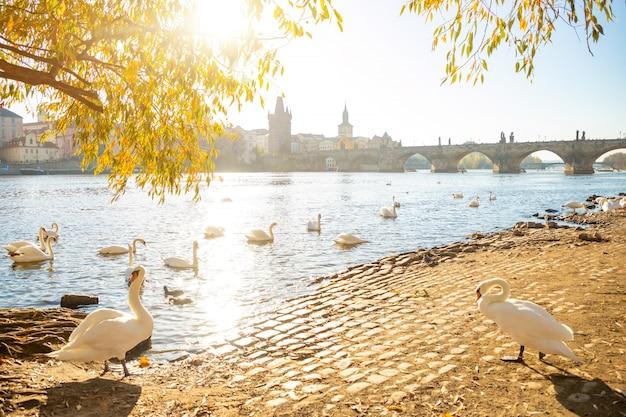 Vista na ponte de charles e cisnes no rio vltava em praga ao amanhecer, república checa