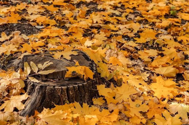 Vista natural de um coto e de folhas de bordo amarelas na floresta do outono.
