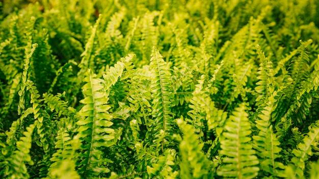 Vista panoramic, de, verde, samambaia, folhas, fundo