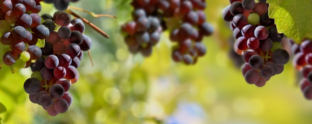 Vista panoramic, ligado, uvas pretas, crescendo, em, vinhedo, ilumine, por, a, sol