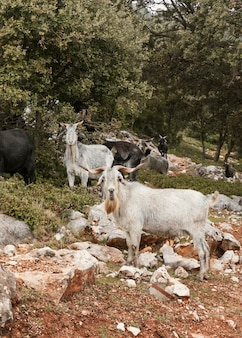 Vista panorâmica de cabras selvagens na natureza