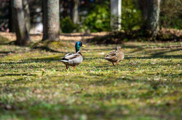 Vista panorâmica de dois patos mullard em um campo