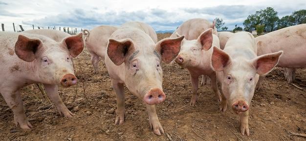Vista panorâmica de porcos ao ar livre no outono