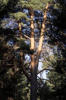 Vista panorâmica de uma floresta de pinheiros verdes ao lado de uma montanha