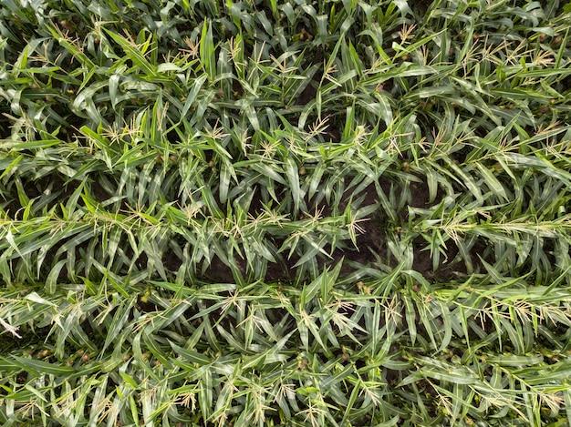 Vista panorâmica do drone acima do campo agrícola de milho em dia de verão. textura do fundo da planta