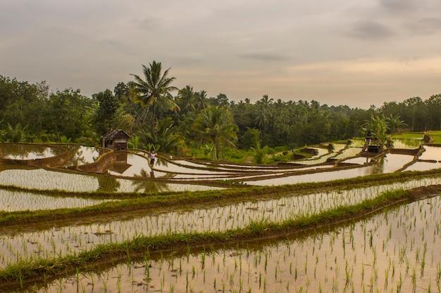 Vista panorâmica dos terraços de arroz em bengkulu utara, indonésia
