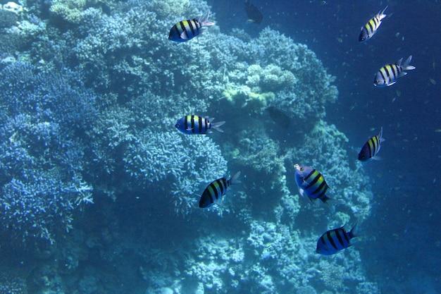 Vista subaquática de tirar o fôlego de peixes cavala se alimentando de plâncton sob a superfície do mar vermelho