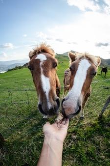 Vista subjetiva, mão alimentando dois cavalos