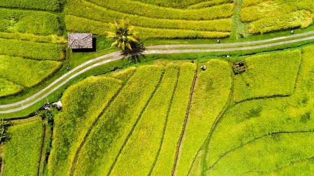 Vista superior aérea do campo de arroz.