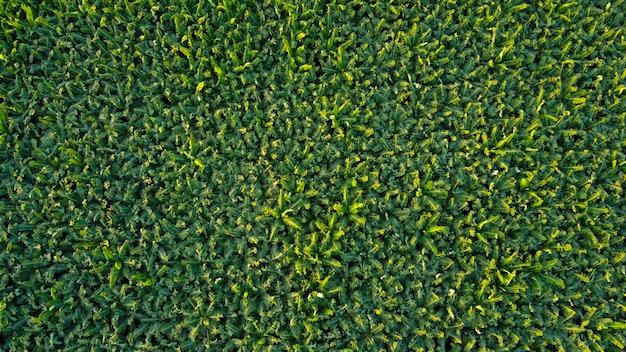 Vista superior aérea do campo de banana