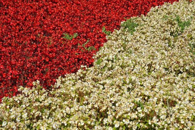 Vista superior as plantas de flor vermelha e branca se separam no graden - texture o fundo diferente do conceito de duas cores, cenários de natureza no jardim do parque