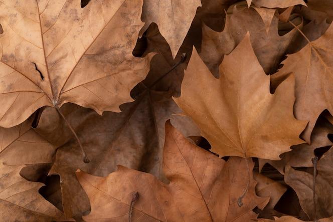 Vista superior, close up das folhas de bordo secas marrons.