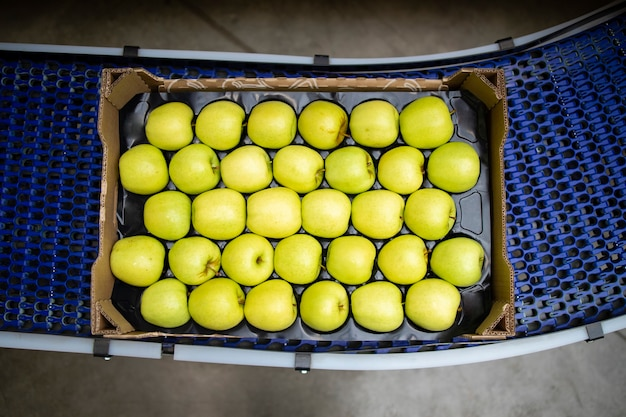 Vista superior da caixa cheia com maçãs orgânicas verdes sendo transportadas na esteira na fábrica de processamento de alimentos.