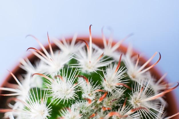 Vista superior da metade da parte do vaso de flores redondo com cacto de echinocereus com espinhos brancos.