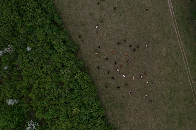 Vista superior da textura de árvores, terras e vacas