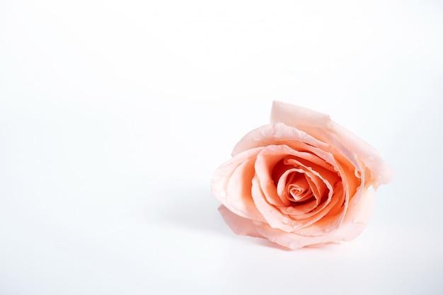 Vista superior da única rosa flor rosa florescendo com gotas de água nas pétalas isoladas no branco