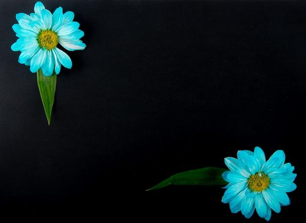 Vista superior das flores de crisântemo de cor azul isoladas no fundo preto, com espaço de cópia