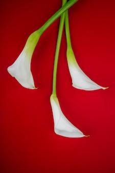 Vista superior das flores de lírios de calla de cor branca, isoladas no fundo vermelho