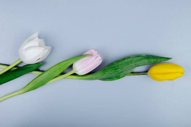 Vista superior das flores de tulipa branca amarela e rosa de cores isoladas em fundo azul