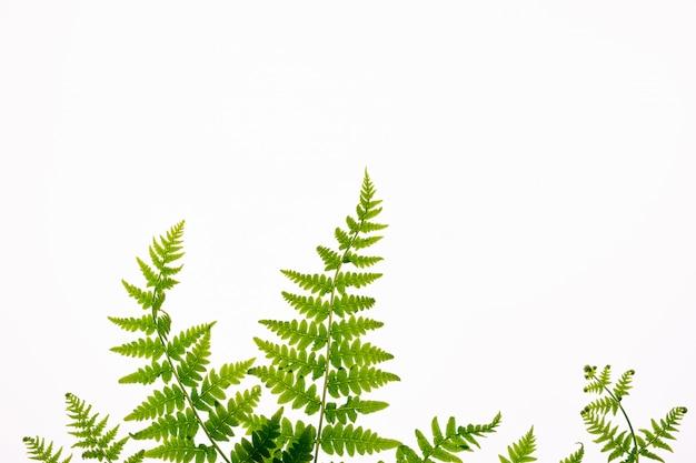 Vista superior das folhas tropicais verdes da samambaia isoladas no fundo branco. conceito mínimo de verão com folha de samambaia. configuração plana