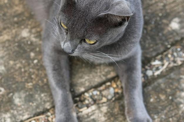Vista superior, de, closeup, a, cinzento, gato, mamífero, animal, conceito