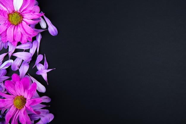 Vista superior de flores de crisântemo de cor fúcsia com pétalas de flores espalhadas em fundo preto com espaço de cópia