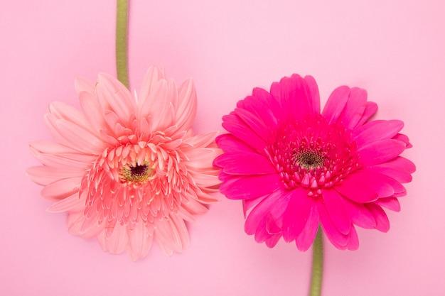 Vista superior de gerbera cor de rosa e fúcsia flores isoladas em fundo rosa