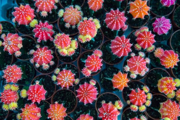 Vista superior de muitos mini cactos coloridos