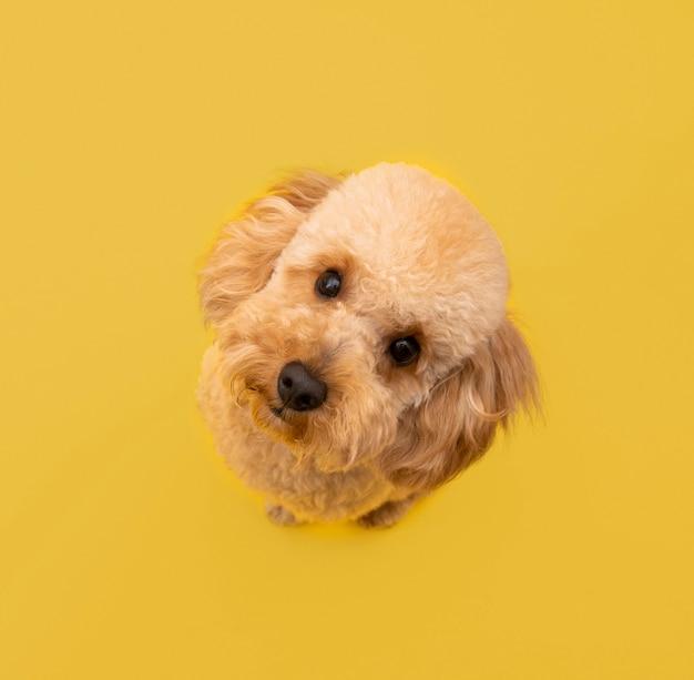 Vista superior de um cachorro fofo olhando para cima