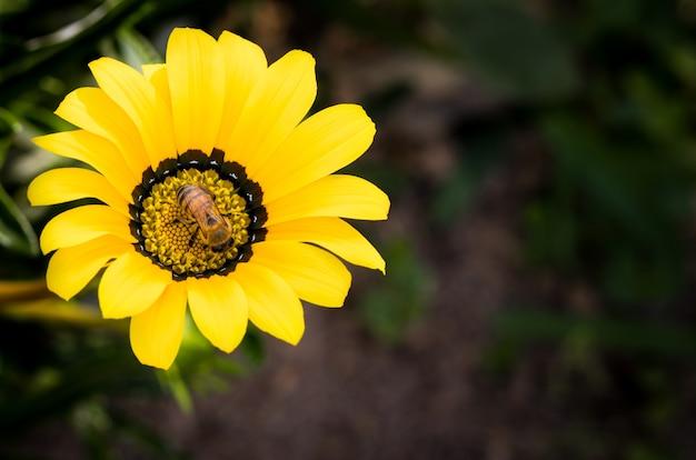 Vista superior de uma abelha sentada em uma flor e coletando néctar