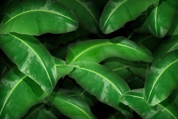 Vista superior de uma folha de bananeira tropical grande
