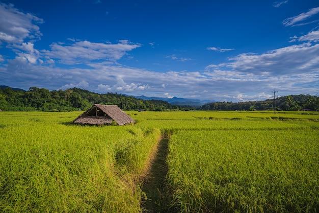 Vista superior do arrozal, arroz verde luxuriante e fundo bonito da casa de campo