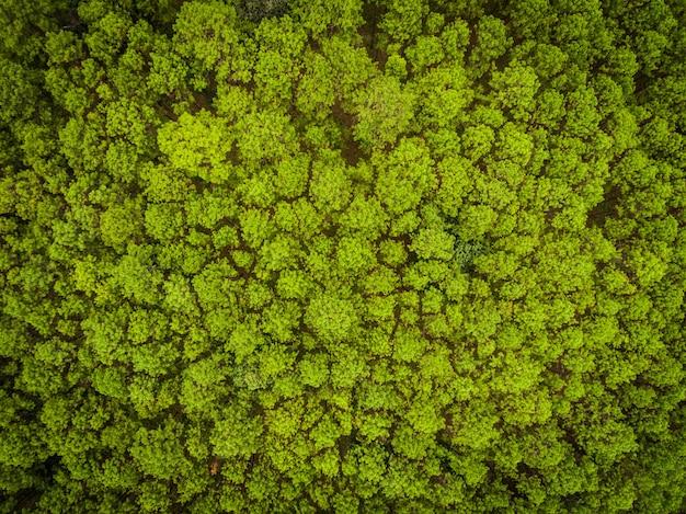 Vista superior do bosque de pinheiros