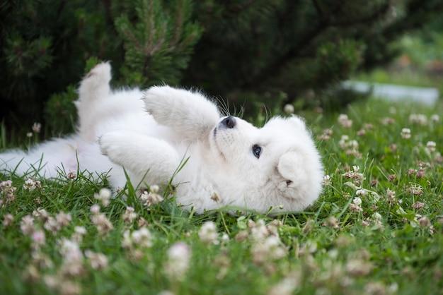 Vista superior do cachorrinho samoyed engraçado no jardim
