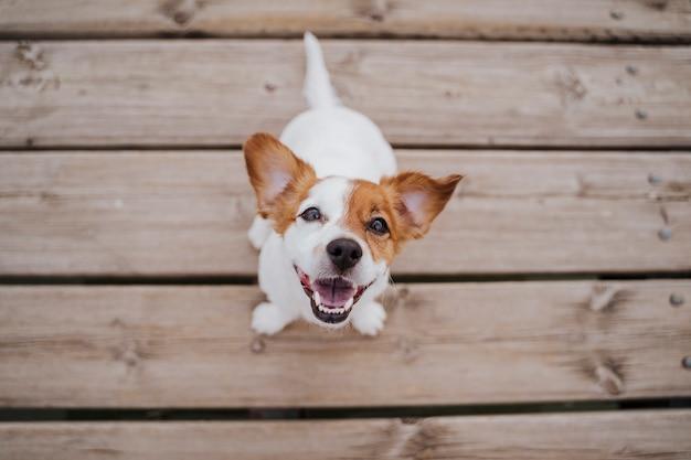 Vista superior do cão pequeno bonito jack russell terrier sentado em uma ponte de madeira ao ar livre ee estilo de vida